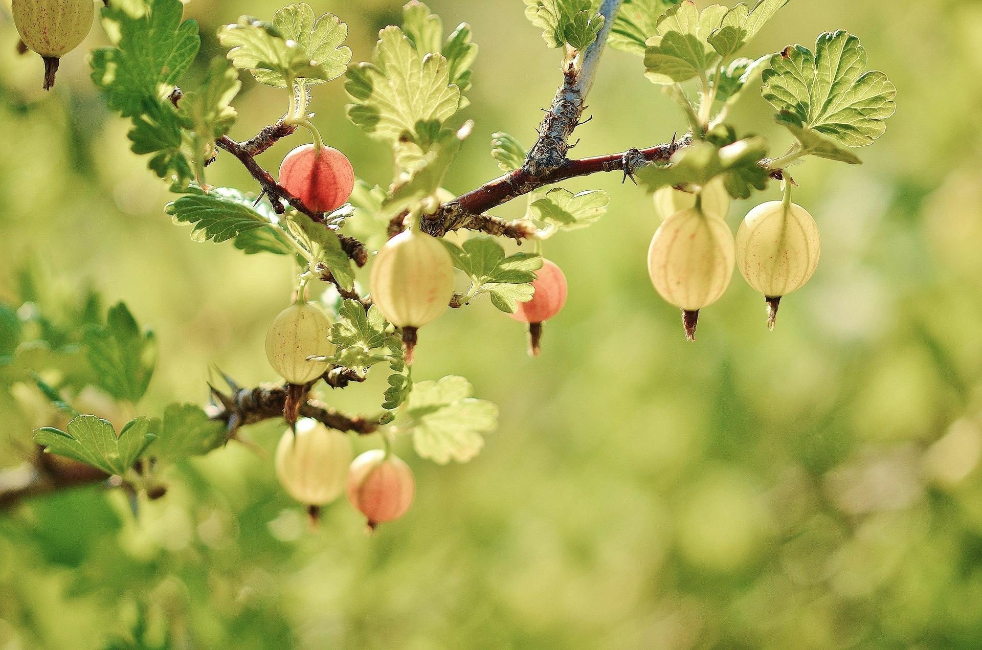 Gren med krusbär